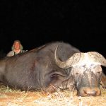 Umdende Hunting Safaris Buffalo