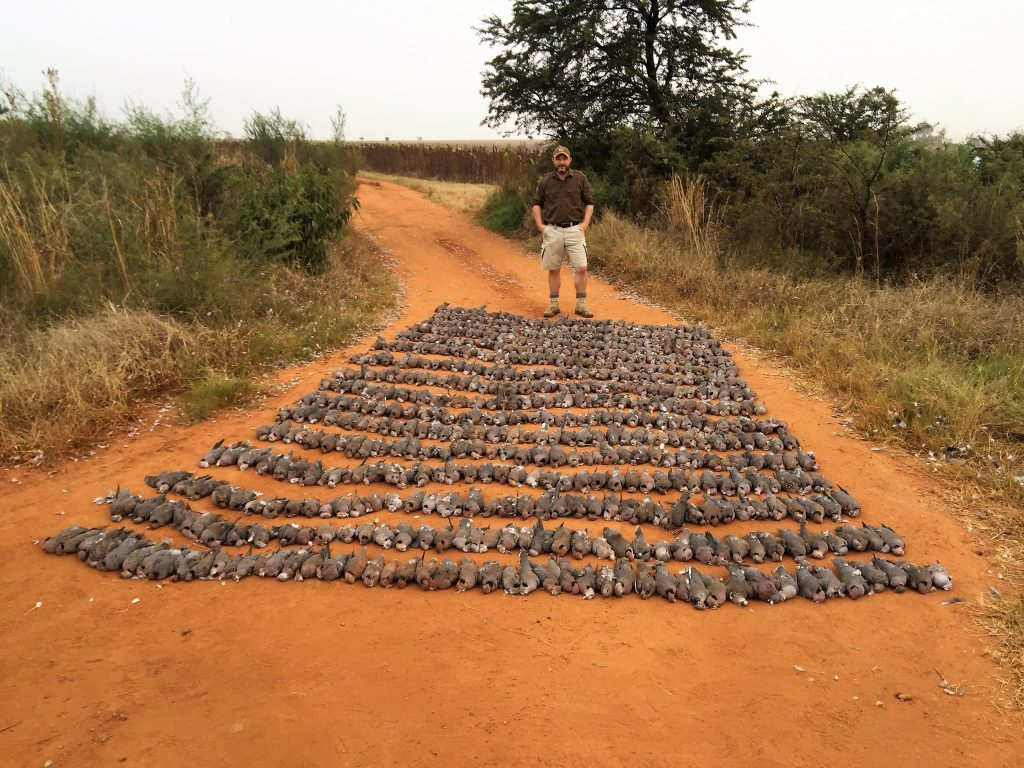 Umdende Hunting Safaris High Volume Doves / Pigeons